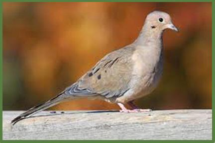 Kansas Dove Hunting