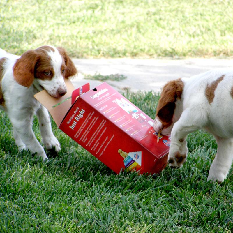 Kansas Bird Hunting Dogs - Puppies Sharing treats!